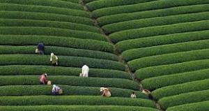 茶摘み1.jpeg