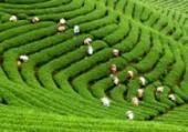 茶摘み2.jpeg